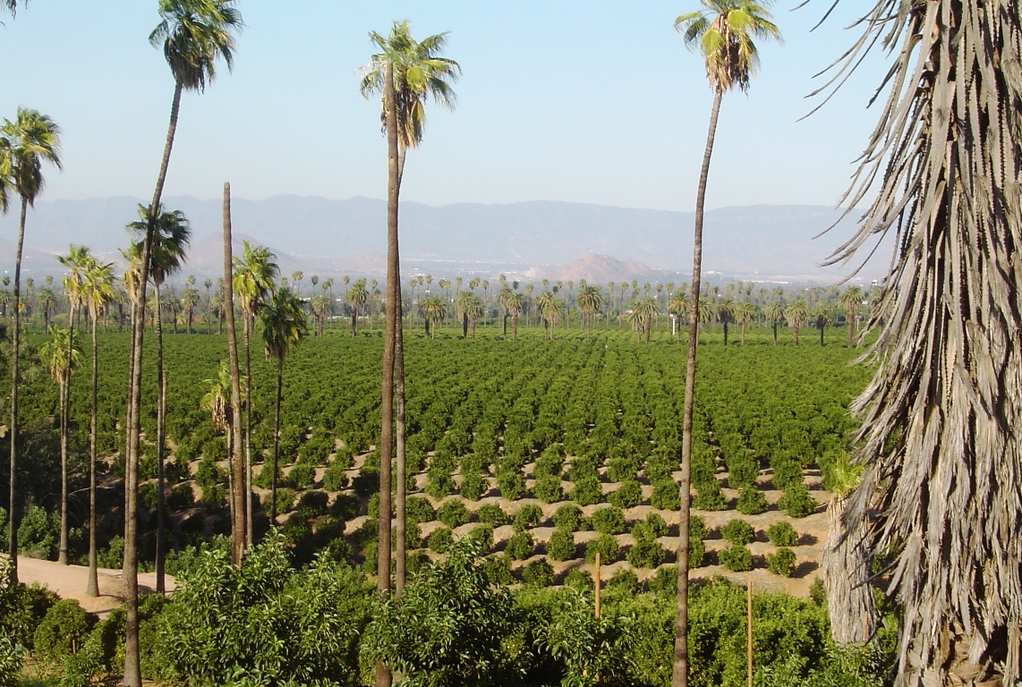 A panoramic view of the citrus groves in the Arlington Heights neighborhood of Riverside, California, in November 2015.