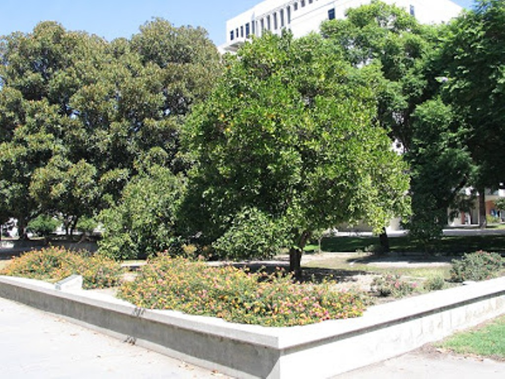 A tree from the state's first Valencia orange grove stands in front of the Humanities Building at Cal State Fullerton.