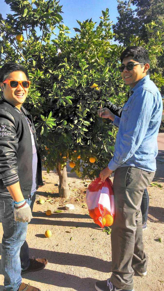 Two male students collecting oranges from the citrus trees outside of Steven G. Mihaylo Hall at Cal State Fullerton.