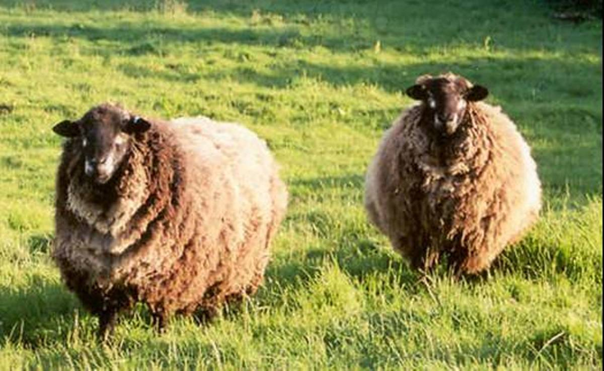 Romney sheep graze through a grassy field in New Zealand.