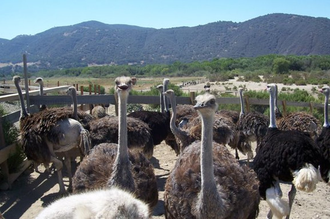 Ostriches look into the camera at a farm near Solvang, California, with the Los Padres National Forest in the background.