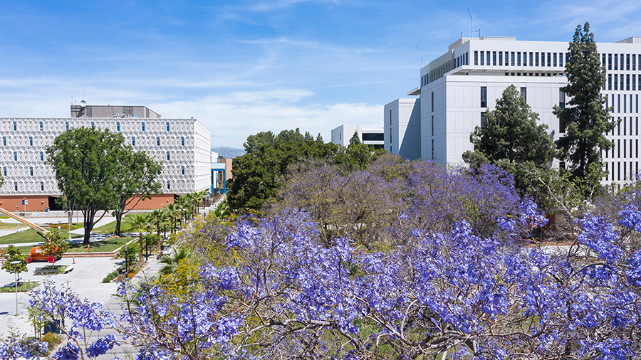 View of Cal State Fullerton promenade in spring, with lavender blossoms